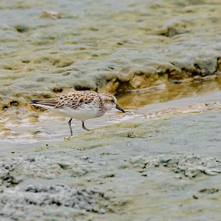 Western Sandpiper at Orange Valley Mudflats, Trinidad