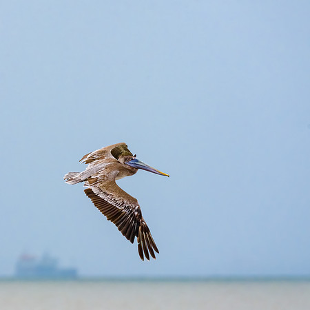 a juvenille Brown Pelican in flight at Orange Valley Mudflats, Trinidad