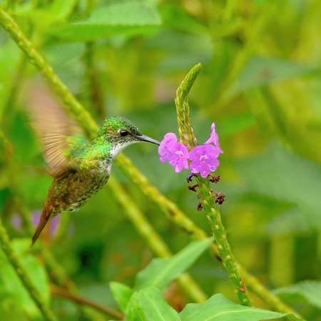 White-chested Emerald feeding from Vervain sp. flower at Asa Wright Nature Centre