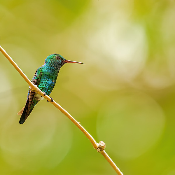 thoughtful-Blue-chinned Sapphire hummingbird at at Yerette, Trinidad