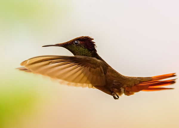 Ruby-topaz Hummingbird at at Yerette, Trinidad