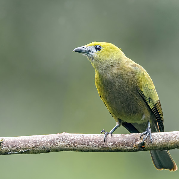 Palm Tanager at Asa Wright Nature Centre