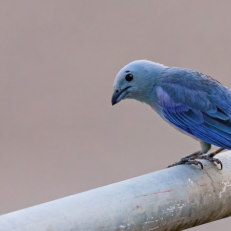Blue-grey Tanager from up close at UWI, St. Augustine, Trinidad