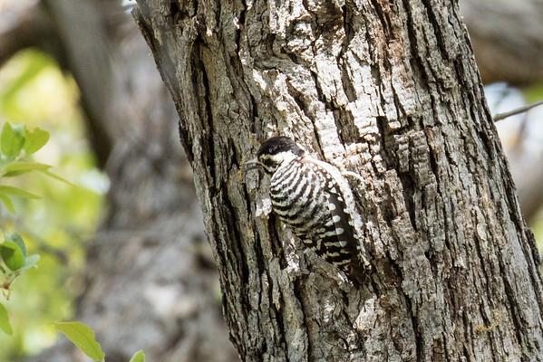 Birding Trip - Southeast Arizona