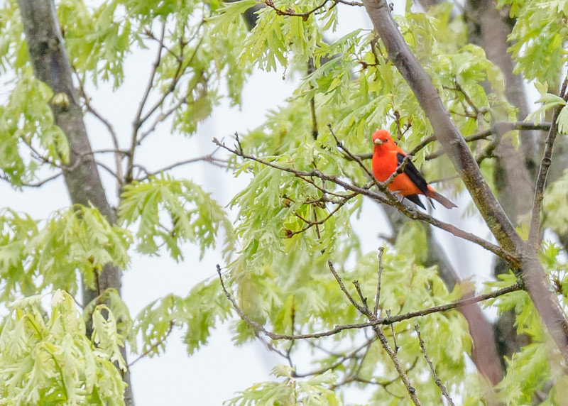 a male Scarlet Tanager at Falling Springs Bird Sanctuary, French Lick, IN