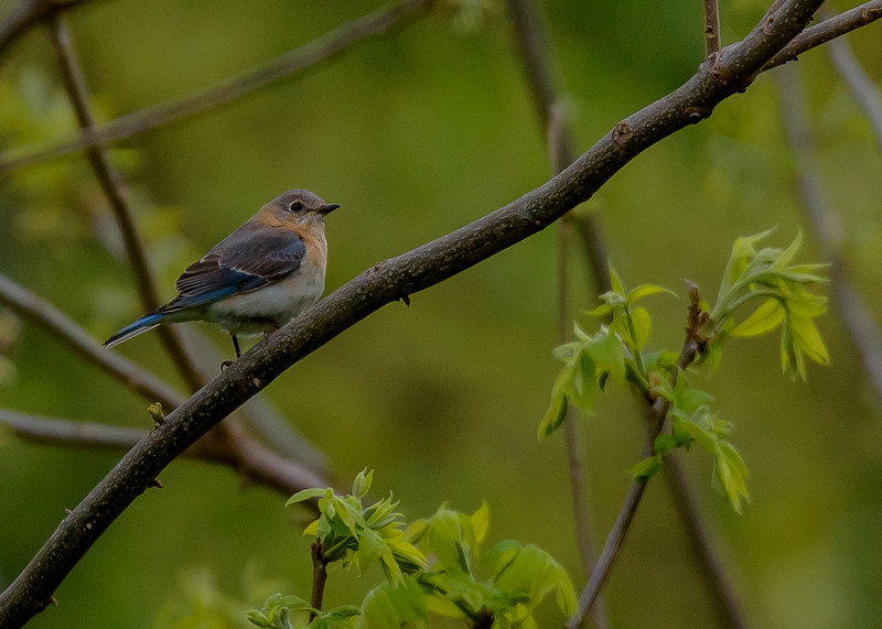 a female Eastern Bluebird at Falling Springs Bird Sanctuary, French Lick, IN