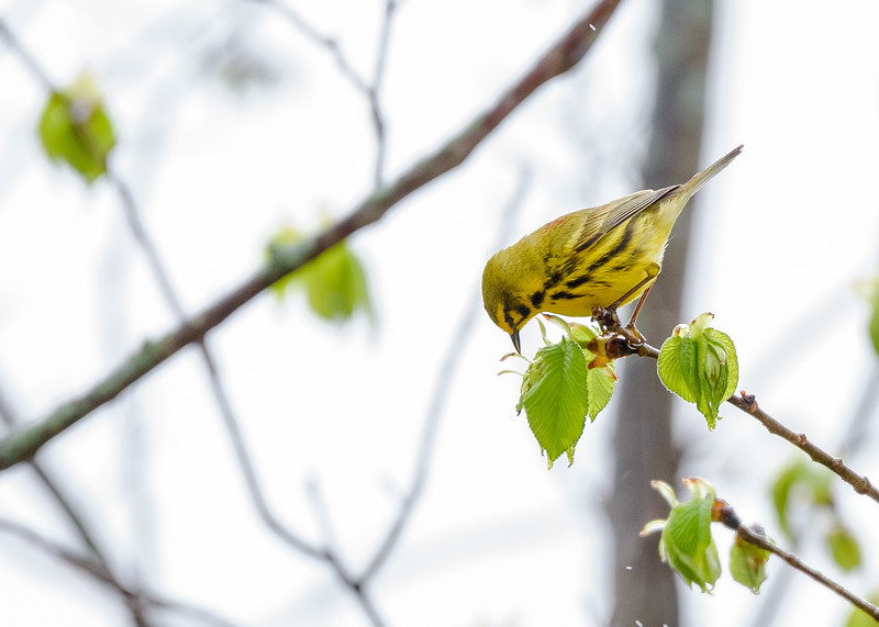 a Prairie Warbler at Falling Springs Bird Sanctuary, French Lick, IN