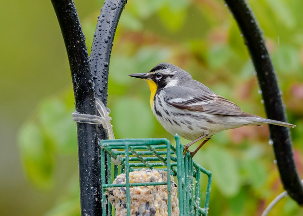 a Yellow-throated Warbler trying out some suet cake at Falling Springs Bird Sanctuary, French Lick, IN