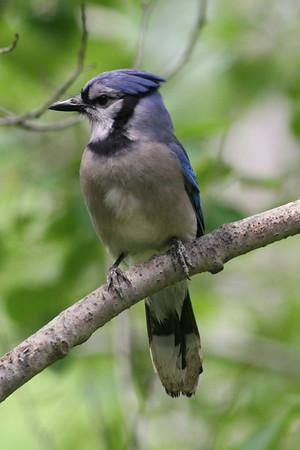 Belgrade Lakes Area Birds