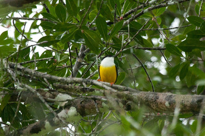 White-collared Manakin