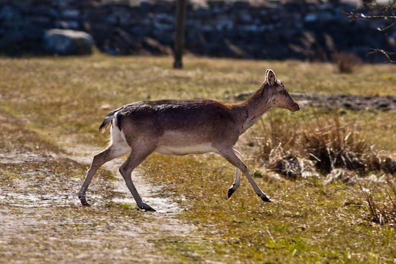 Dovhjort, Dama dama, Fallow Deer