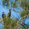 Little Black Cormorants