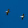 Australasian Pelicans