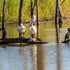Australian Pelicans & Great Cormorants