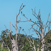 Straw Necked Ibis & Great Cormorant