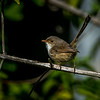 Female Red Backed Fairy Wren