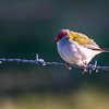 Red Browed Finch