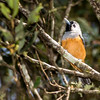 Black Faced Monarch