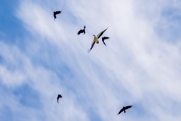 2017-12-07 Sea Eagle Crow Confrontation