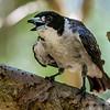 A Heat Affected Grey Butcherbird