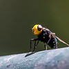 Golden Headed Rutilia Fly found at the end of Lanes Rd