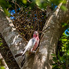 Mischievious Galah wrecking another birds nest.