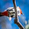 Male Mistletoe Bird