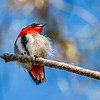 Male Mistletoe Bird