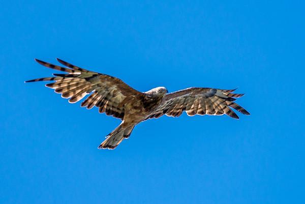 2018-02-28 Square tailed Kite