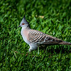 Immature Crested Pigeon