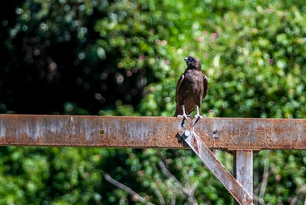 2018-05-10 Dark Morph Brown Falcon