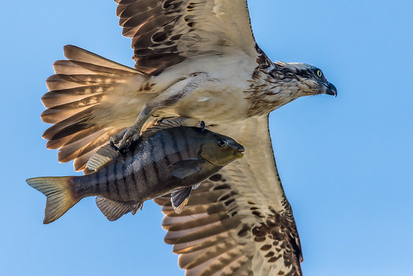 2018-08-09 Osprey with Luderick fish