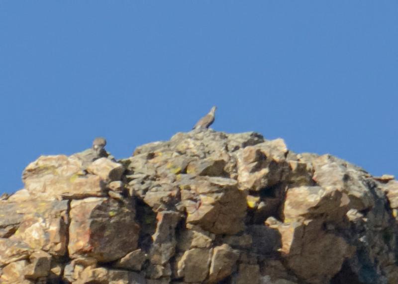 Himalayan Snowcocks, Island Lake, Elko County, Nevada, 8-19-14. Cropped image.
