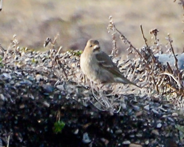 COMMON ROSEFINCH, female