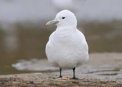 Ivory Gull, Grover Beach, San Luis Obispo co, CA, 11-6-10.