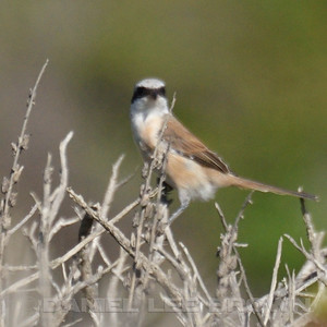 Red-backed X Turkestan Shrike hybrid