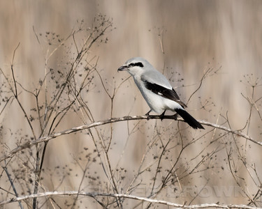 NORTHERN SHRIKE, Sacramento NWR
