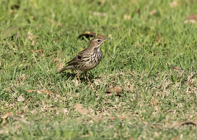 RED-THROATED PIPIT, Berry Park, Nestor, CA