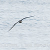 Great-winged Petrel, shot from a Monterey Seabirds boat, 9-18-10. This is the third sighting for this species in North America! Ever!