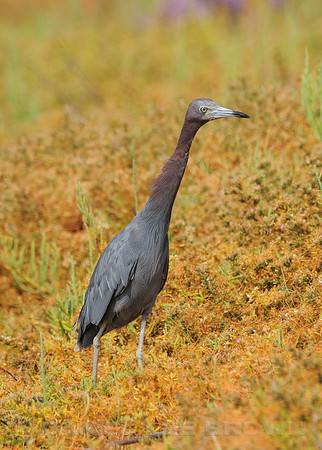 Adult Little Blue Heron, San Diego co, CA, 8-15-10.