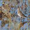 Sharp-tailed Sandpiper, Yolo Bypass Wildlife Area, 10-10-10, Cropped image.