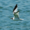 Sabine's Gull, Woodland WWTP, Yolo co, CA, 10-7-10. Cropped image.
