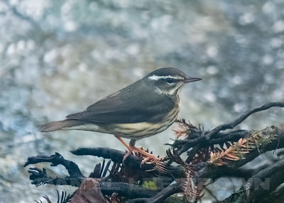 LOUISIANA WATERTHRUSH, Pfieffer Big Sur SP