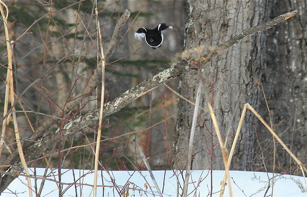 Magpie jumping off a tree limb.