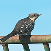 Great Spotted Cuckoo - Kuifkoekoek