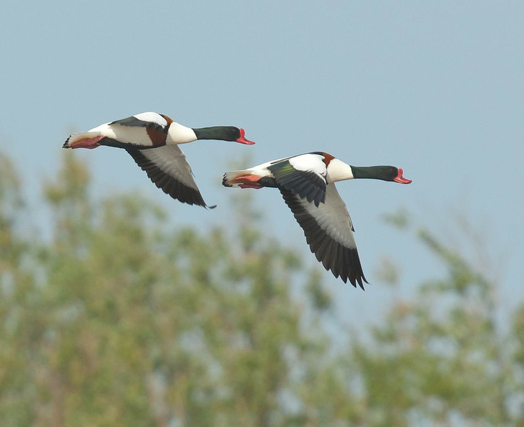 Bergeend - Shelduck