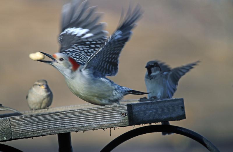 Jan 2, 2013  Red-bellied Woodpecker, Villa Park, IL