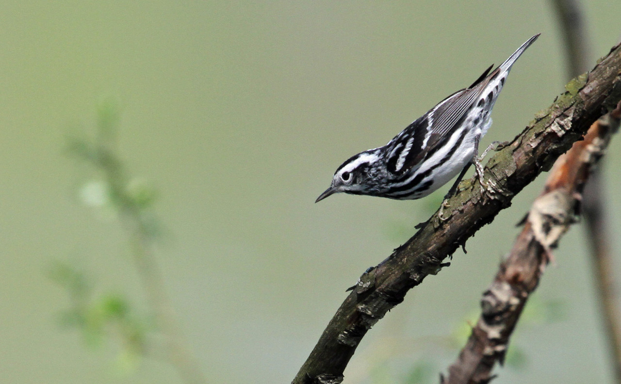 Black -and-white Warbler - May 1, 2013, North Pond, Chicago
