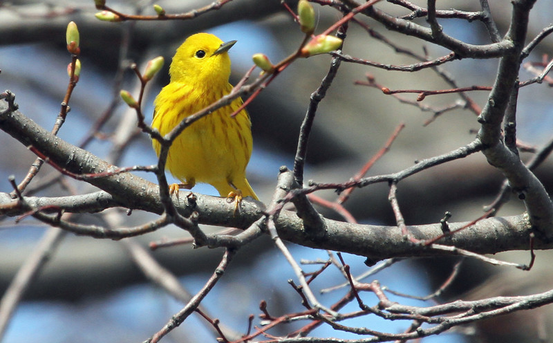 Yellow Warbler - May 5, 2013, Montrose point, Chicago