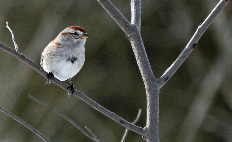 Tree Sparrow - Mar 7, 2013, McClaughrey Spring Woods, Palos Park, IL